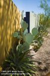 1208119 Prickly-pear Cactus, Yucca against yellow wall [Opuntia sp.; Yucca sp.]. Alan Richards, Tucson, AZ. © Mark Turner