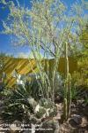1208125 Ocotillo, Agave, Prickly-pear Cactus in desert garden [Fouquieria splendens; Agave sp.; Opuntia sp.]. Alan Richards, Tuc