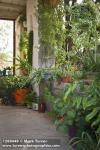 1208440 Collection of tropical foliage plants in containers on porch. Lorien Tersey, Tucson, AZ. © Mark Turner