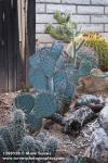 1208520 Prickly-pear, other cacti in cactus garden against wooden fence & brick wall [Opuntia sp.]. Keith & Helga Zwickl